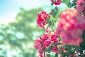 pink_flower_s